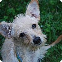 Adopt A Pet :: Asta - New Milford, CT
