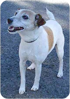 Jack Russell Terrier Mix Dog for adoption in Santa Barbara, California - Blaze