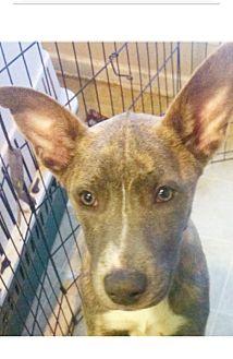 Cattle Dog Mix Dog for adoption in Hatifeld, Pennsylvania - Brynn