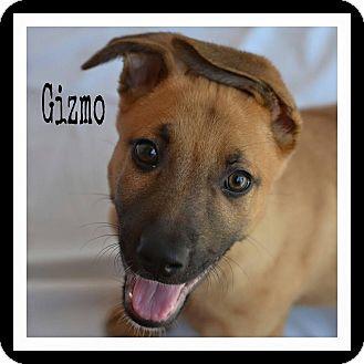German Shepherd Dog/Shepherd (Unknown Type) Mix Puppy for adoption in Pawling, New York - Gizmo