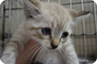 Domestic Shorthair Kitten for adoption in Henderson, North Carolina - Bo