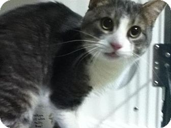 Domestic Shorthair Cat for adoption in Hamilton, Ontario - Scooter