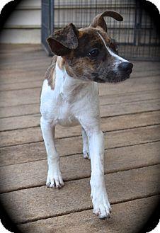 Feist/Boston Terrier Mix Puppy for adoption in Ijamsville, Maryland - Elsa