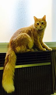 Domestic Longhair Cat for adoption in Chattanooga, Tennessee - Midas