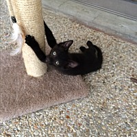 Domestic Shorthair Kitten for adoption in Waggaman, Louisiana - Slate