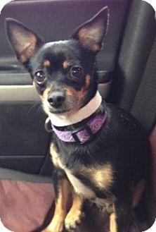 Chihuahua Mix Dog for adoption in Cedar Rapids, Iowa - Pheobe