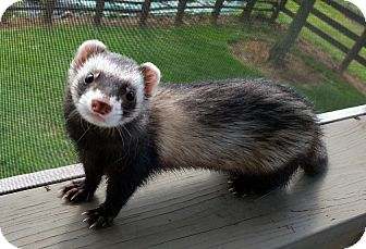Ferret for adoption in Brandy Station, Virginia - MASCARA