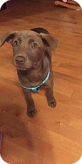 Labrador Retriever/Shepherd (Unknown Type) Mix Puppy for adoption in Hazard, Kentucky - Julie