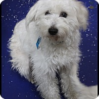 Adopt A Pet :: Armani - Rockwall, TX