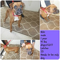 Boxer Dog for adoption in Hazard, Kentucky - Milo