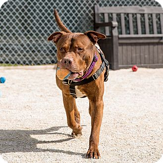 Pit Bull Terrier Mix Dog for adoption in Wheaton, Illinois - Cooper