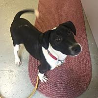 Adopt A Pet :: Violet - Pompton Lakes, NJ