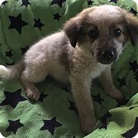 Adopt A Pet :: Aussie mix females - East Hartford, CT