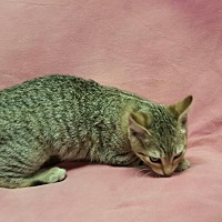 Domestic Shorthair Kitten for adoption in Hawk Point, Missouri - Sparkle