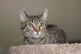 Domestic Shorthair Cat for adoption in Davenport, Iowa - Zora