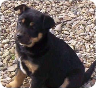 Shepherd (Unknown Type)/Border Collie Mix Puppy for adoption in Proctorville, Ohio, Ohio - Eliot