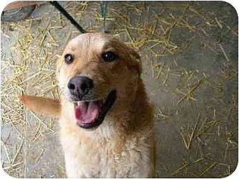 Golden Retriever Mix Dog for adoption in Poland, Indiana - Letterman