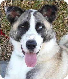 Akita/Husky Mix Dog for adoption in Los Angeles, California - Rocky von San Gabriel