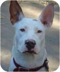 Bull Terrier/Labrador Retriever Mix Dog for adoption in Sacramento, California - Cookie