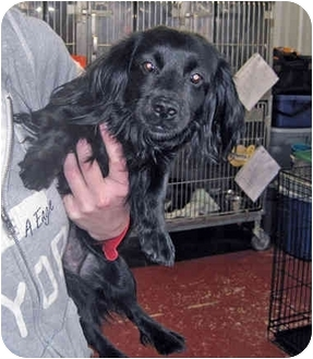Dachshund/Spaniel (Unknown Type) Mix Dog for adoption in Marseilles, Illinois - Suzy Q