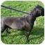 Photo 2 - Boxer/Labrador Retriever Mix Dog for adoption in Shelbyville, Kentucky - Bridgette