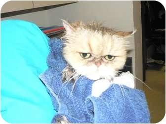 Persian Cat for adoption in O'Fallon, Missouri - Amara