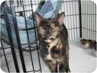 Domestic Shorthair Cat for adoption in Columbiaville, Michigan - Bee Bop