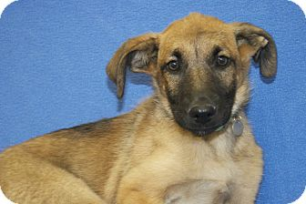 Shepherd (Unknown Type) Mix Puppy for adoption in Broomfield, Colorado - Santa Fe
