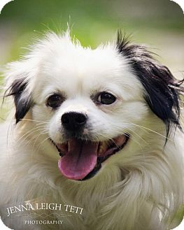 Pekingese/Dachshund Mix Dog for adoption in Jersey City, New Jersey - Walter White