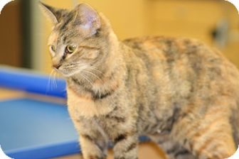 American Shorthair Cat for adoption in Foster, Rhode Island - Kalli
