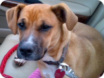 Boxer/Labrador Retriever Mix Puppy for adoption in Marietta, Georgia - Bowser