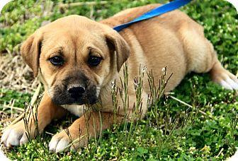 Mastiff/Labrador Retriever Mix Puppy for adoption in Hagerstown, Maryland - Dawton