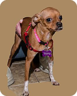 Chihuahua Mix Dog for adoption in Mt. Prospect, Illinois - Bebe