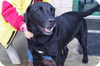 Labrador Retriever Mix Dog for adoption in Elyria, Ohio - Platz-Prison Dog