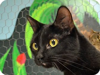 Domestic Shorthair Cat for adoption in Searcy, Arkansas - Maiya