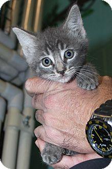 Domestic Shorthair Kitten for adoption in Grass Valley, California - Chomper