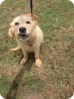 Golden Retriever Mix Puppy for adoption in East Hartford, Connecticut - donny meet me 8/1