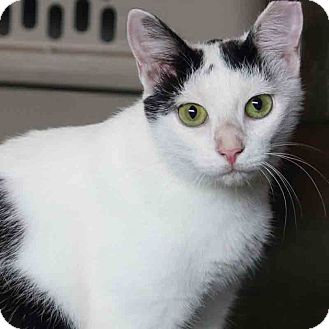Domestic Shorthair Cat for adoption in Gaithersburg, Maryland - Dahlia