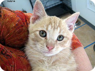 Domestic Shorthair Kitten for adoption in Republic, Washington - Ermine