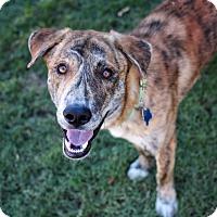Adopt A Pet :: Toni - Phoenix, AZ