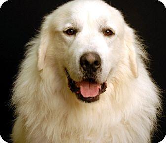 Great Pyrenees Dog for adoption in Newland, North Carolina - Sebastian