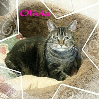 Domestic Shorthair Cat for adoption in New Richmond,, Wisconsin - Olivia