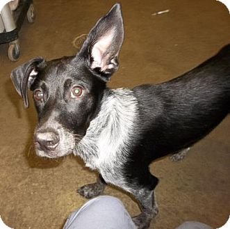 Border Collie Mix Dog for adoption in Rapid City, South Dakota - Dallas
