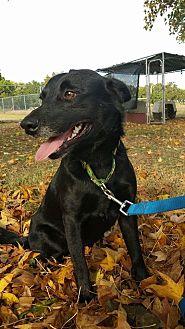 Border Collie/Australian Shepherd Mix Dog for adoption in Davis, Oklahoma - SamuelOKs31