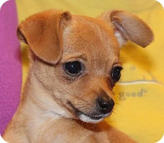 Chihuahua Mix Puppy for adoption in Minneapolis, Minnesota - Xerxes