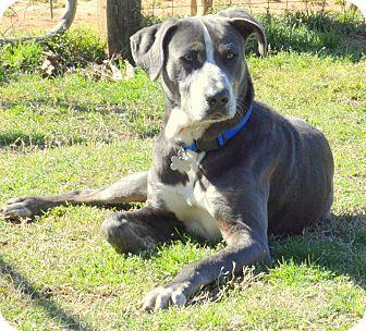 Weimaraner/Labrador Retriever Mix Dog for adoption in Cairo, Georgia - Sterling