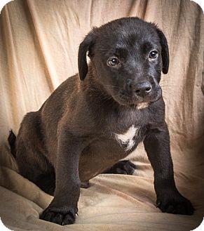 Labrador Retriever Mix Puppy for adoption in Anna, Illinois - CAMERON