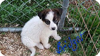 Border Collie Mix Puppy for adoption in Burlington, Vermont - Bridget