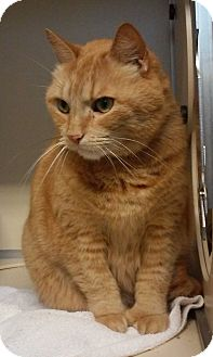 Domestic Shorthair Cat for adoption in Franklin, New Hampshire - JJ