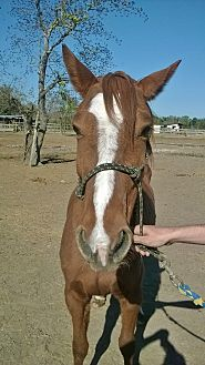 Quarterhorse Mix for adoption in Hitchcock, Texas - Caprice